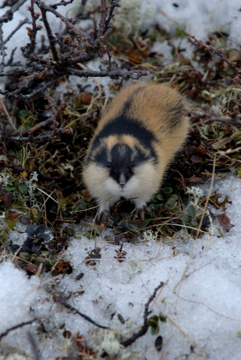 Lemming In Tundra