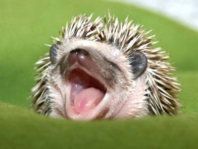 [Image: hedgehog.JPG]