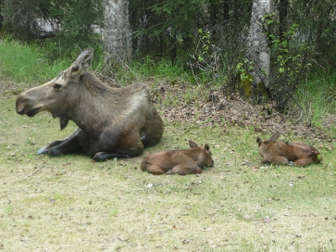 Baby moose with their mother